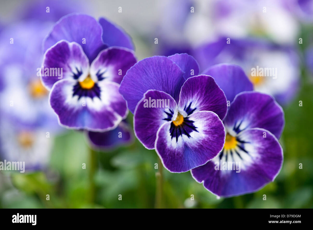 F1 viola delft blue three flowers with blue and white petals and f1 viola delft blue three flowers with blue and white petals and yellow at centre dhlflorist Image collections