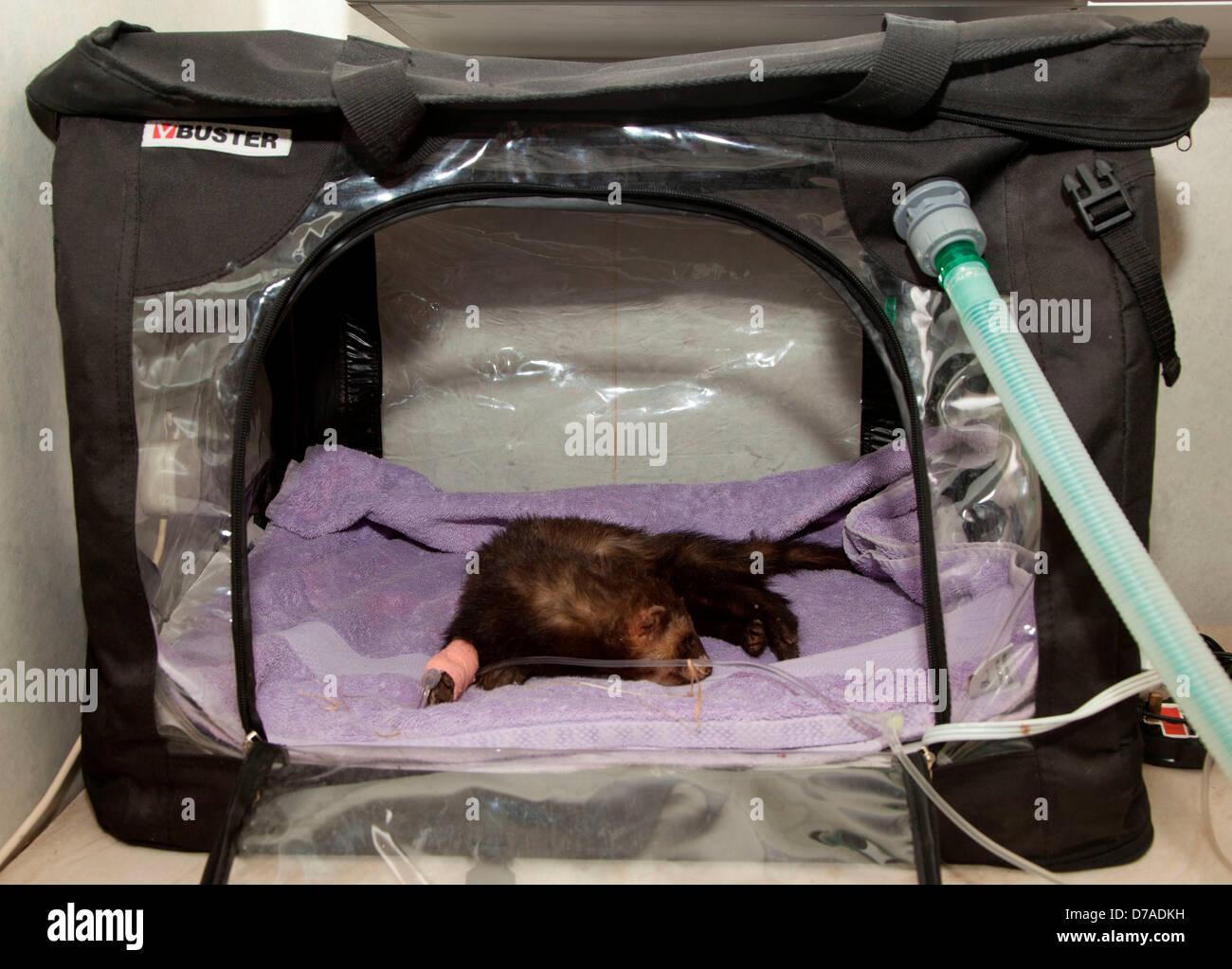 European Polecat Mustela putorius in oxygen tent & European Polecat Mustela putorius in oxygen tent Stock Photo ...