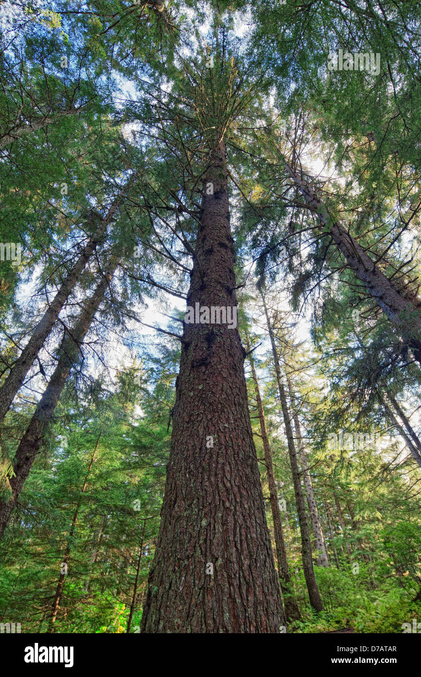 Alaska haines county - The Sitka Spruce Trees In Chilkoot State Park Haines Alaska Usa Stock Image