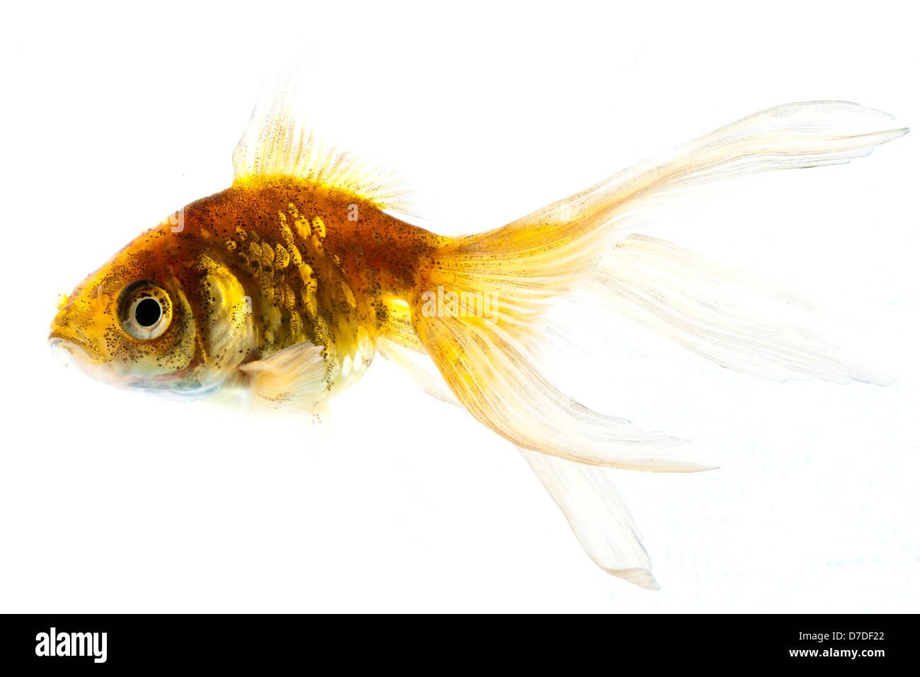 Veiltail Goldfish | Veiltail Goldfish Carassius Sp Stock Photo 56230890 Alamy