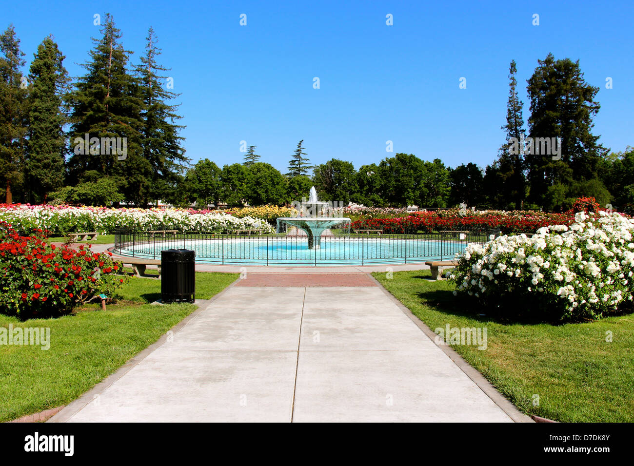 Roses In Garden: San Jose Municipal Rose Garden In San Jose, California