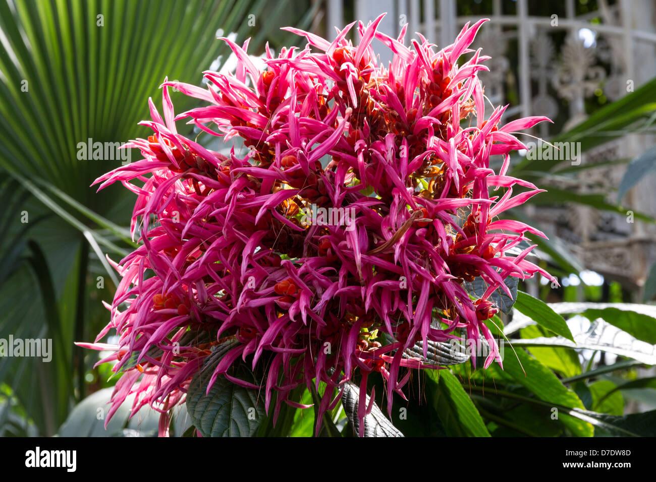 Coral Aphelandra plant Stock Photo, Royalty Free Image ...