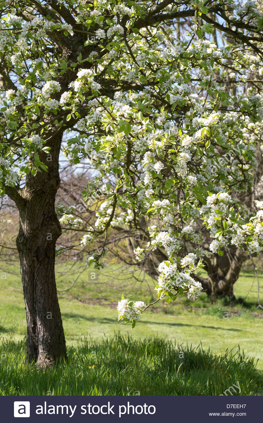Pyrus communis pear tree blossom rhs wisley gardens for Garden trees england