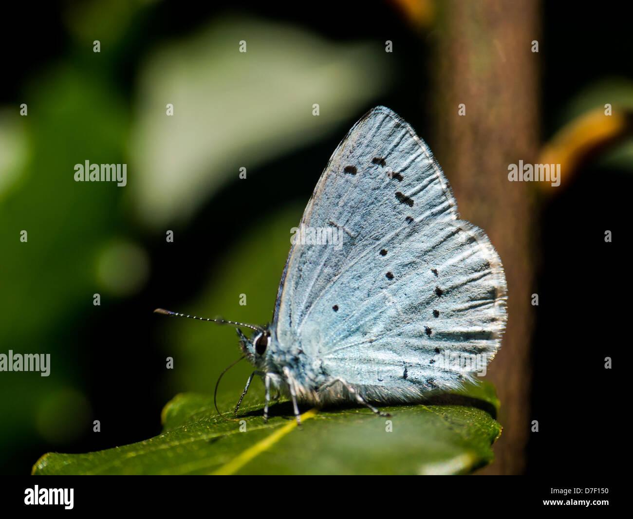 holly-blue-butterfly-celastrina-argiolus