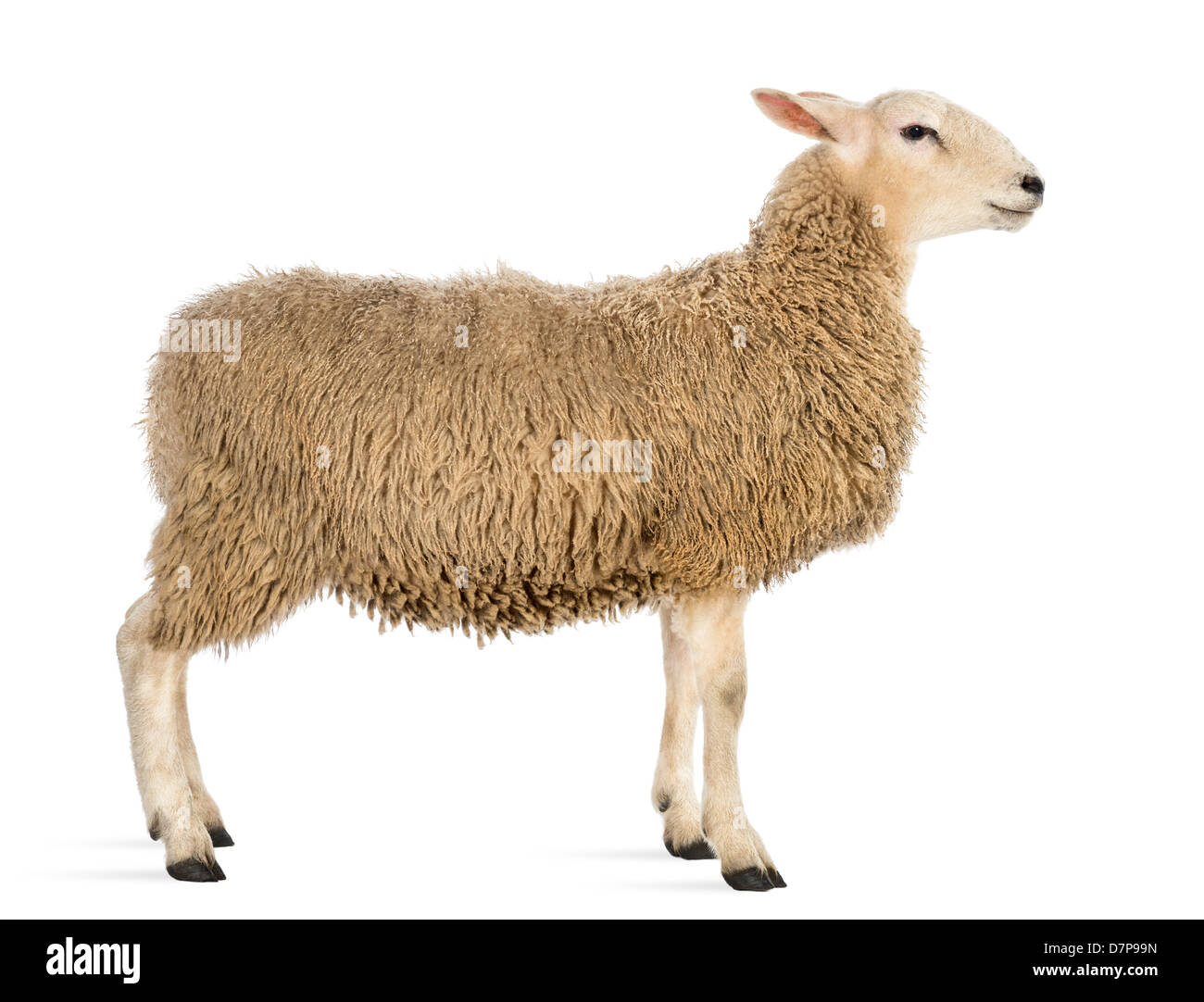 Side view of Sheep standing in front of white background ...