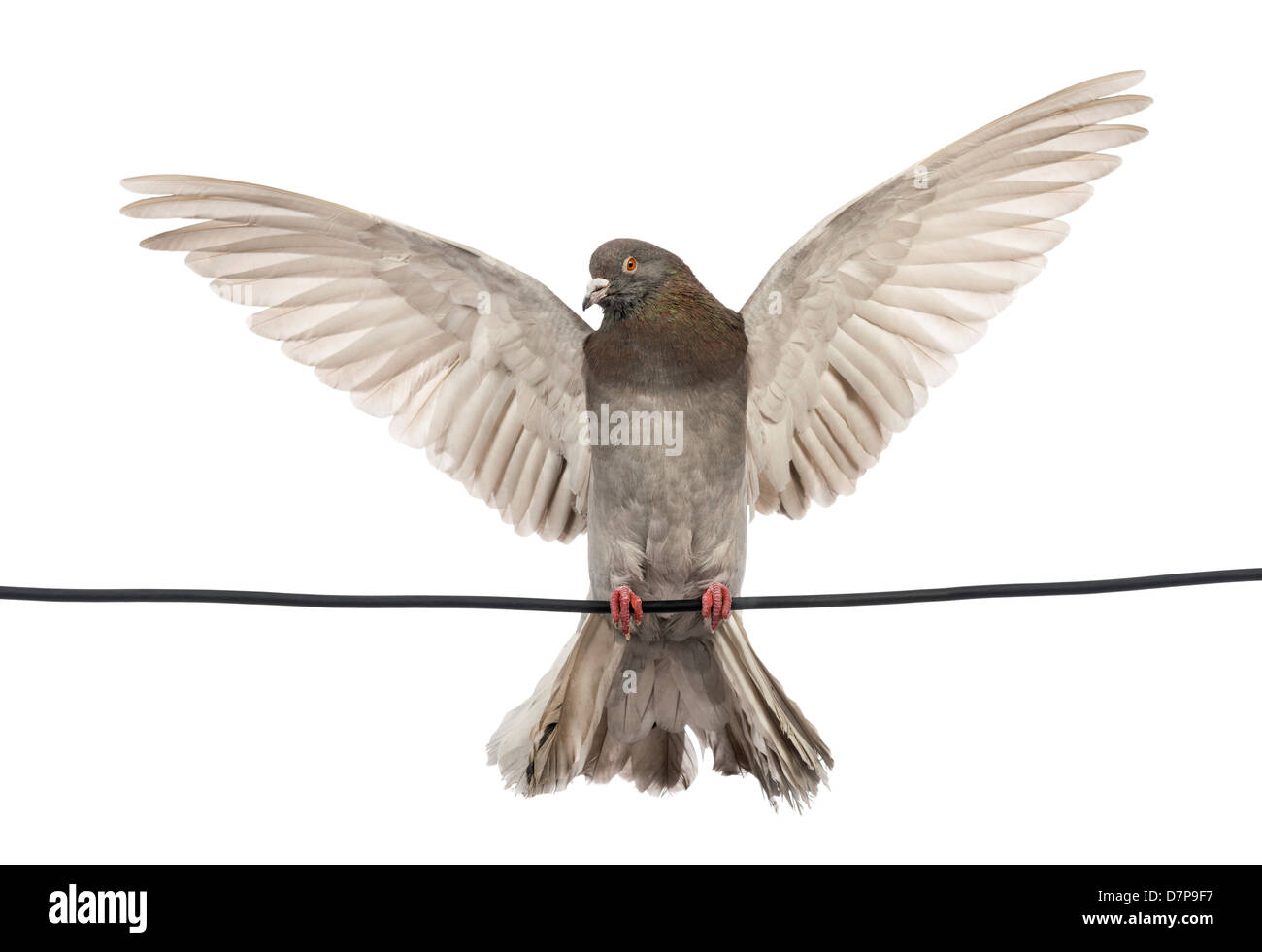 Pigeon perched on an electric wire with its wings spread in front of ...