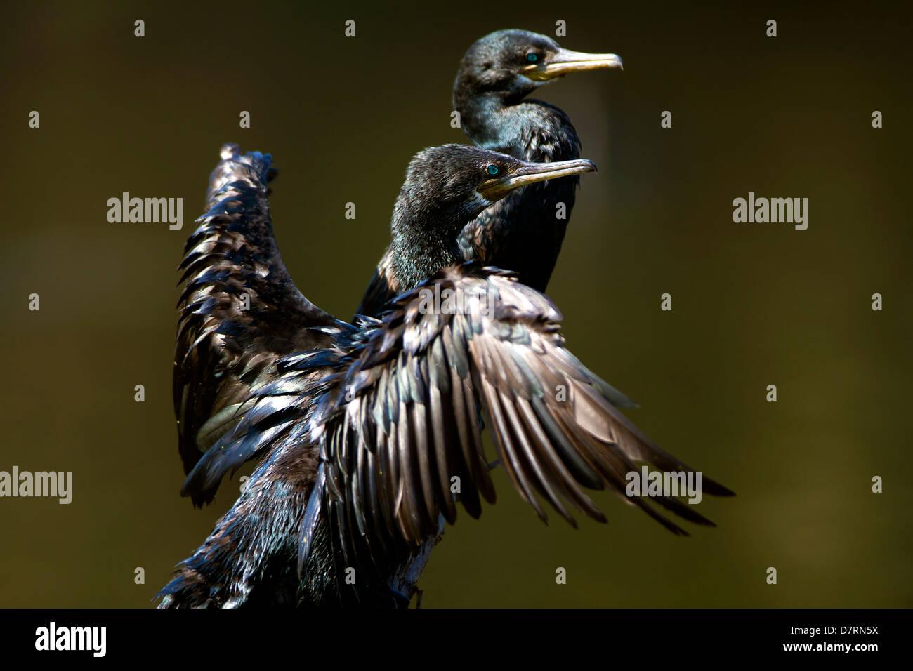Black bird wings spread