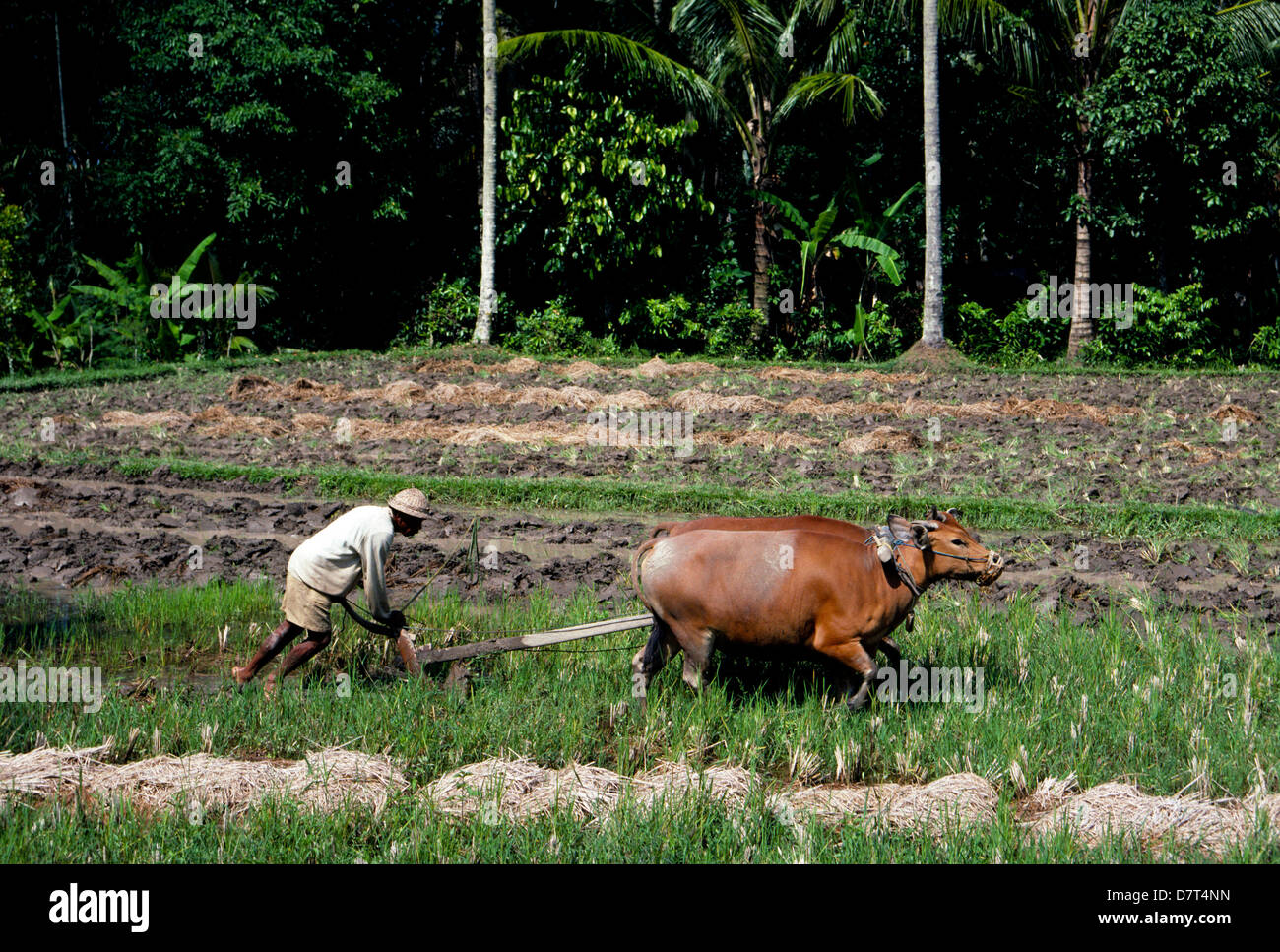 plowing cows stock photos u0026 plowing cows stock images alamy