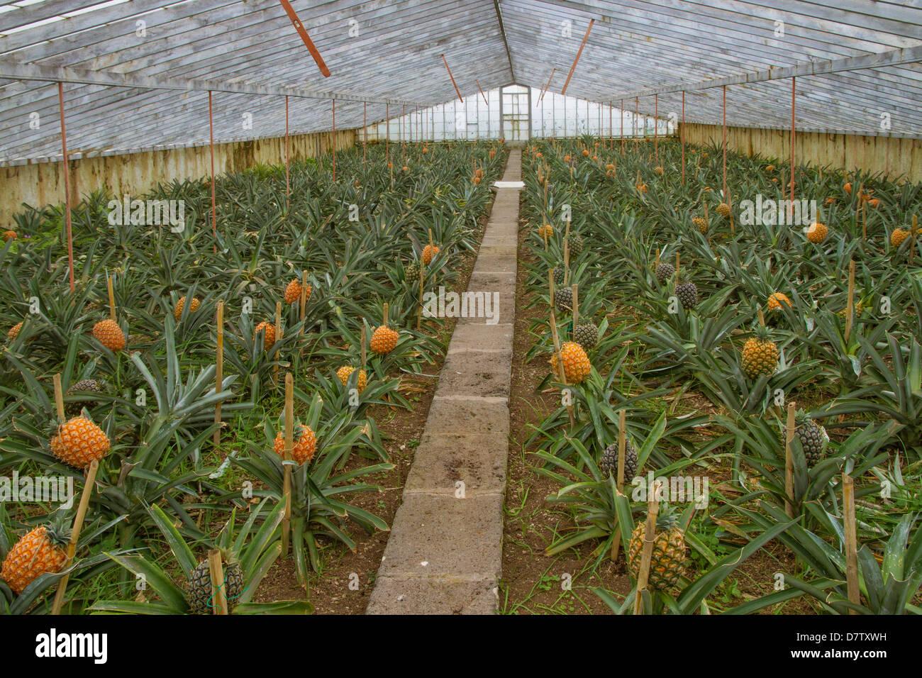 pineapple farm kerala