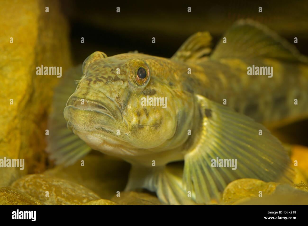 Freshwater fish kauai - Slimy Sculpin Cottus Cognatus Freshwater Fish Native To North America Stock Image