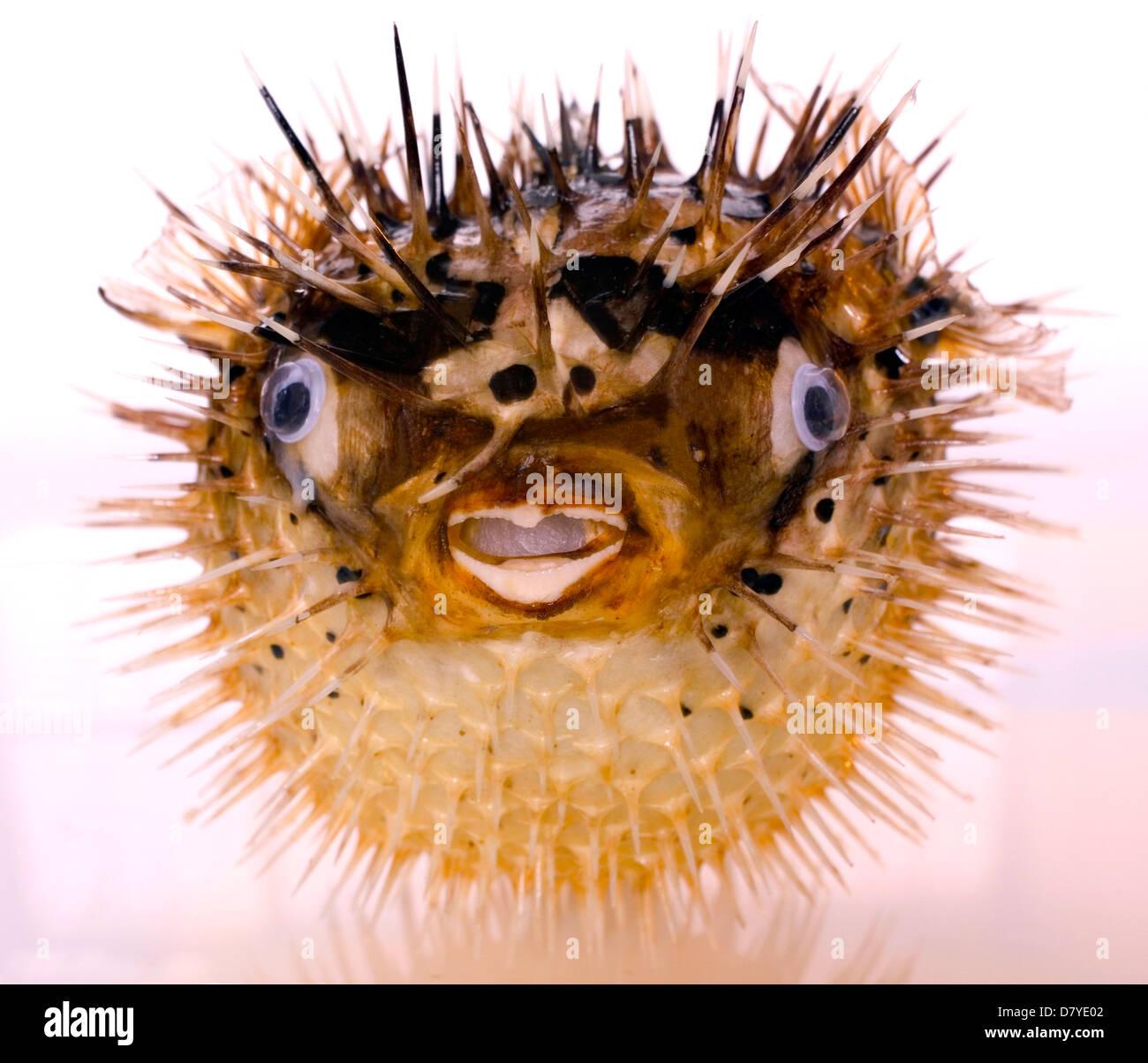 Spiny fish