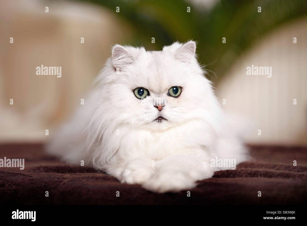 Chinchilla Persian Cat Stock Royalty Free Image