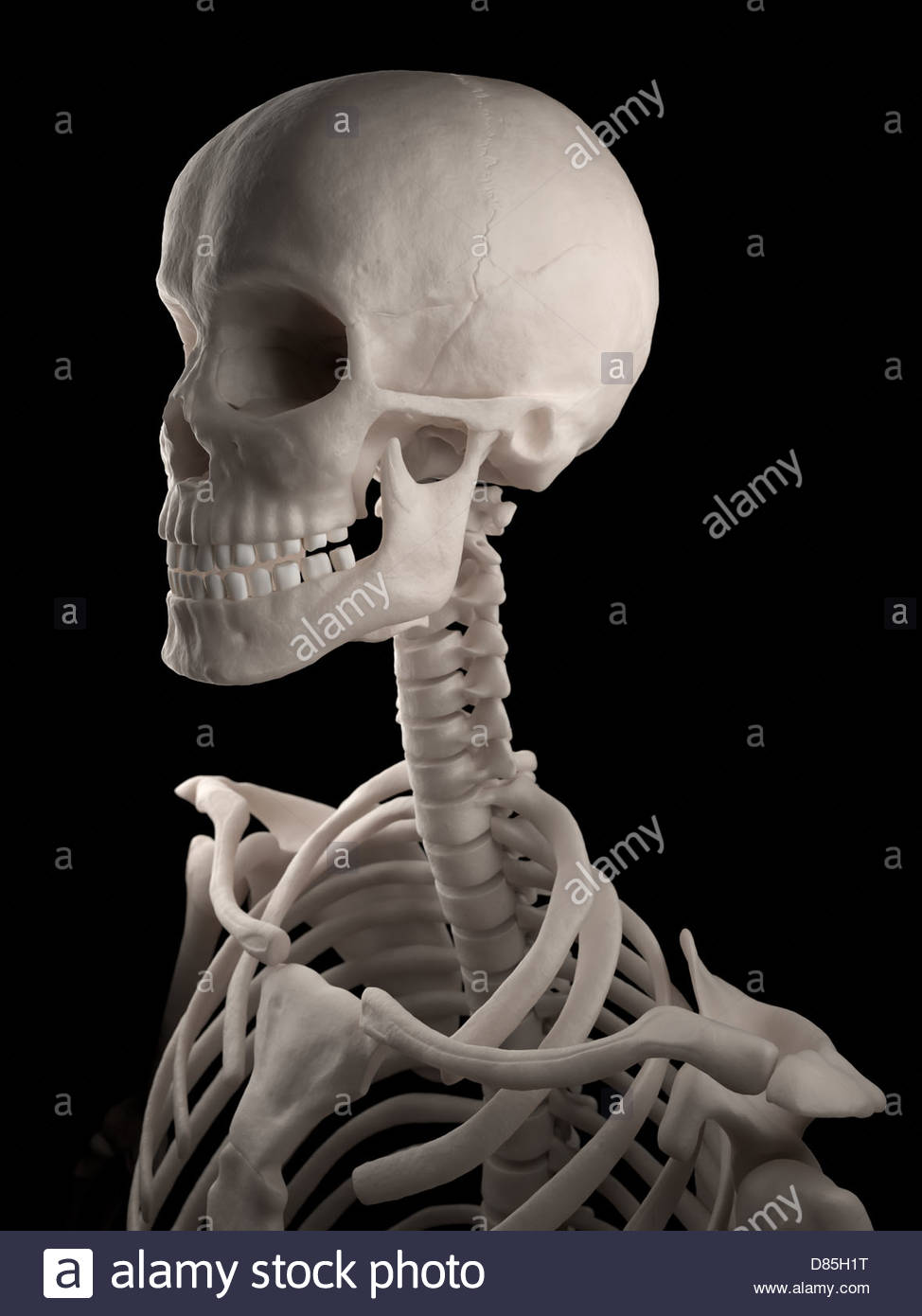 digital medical illustration: human skull, neck and upper torso, Skeleton