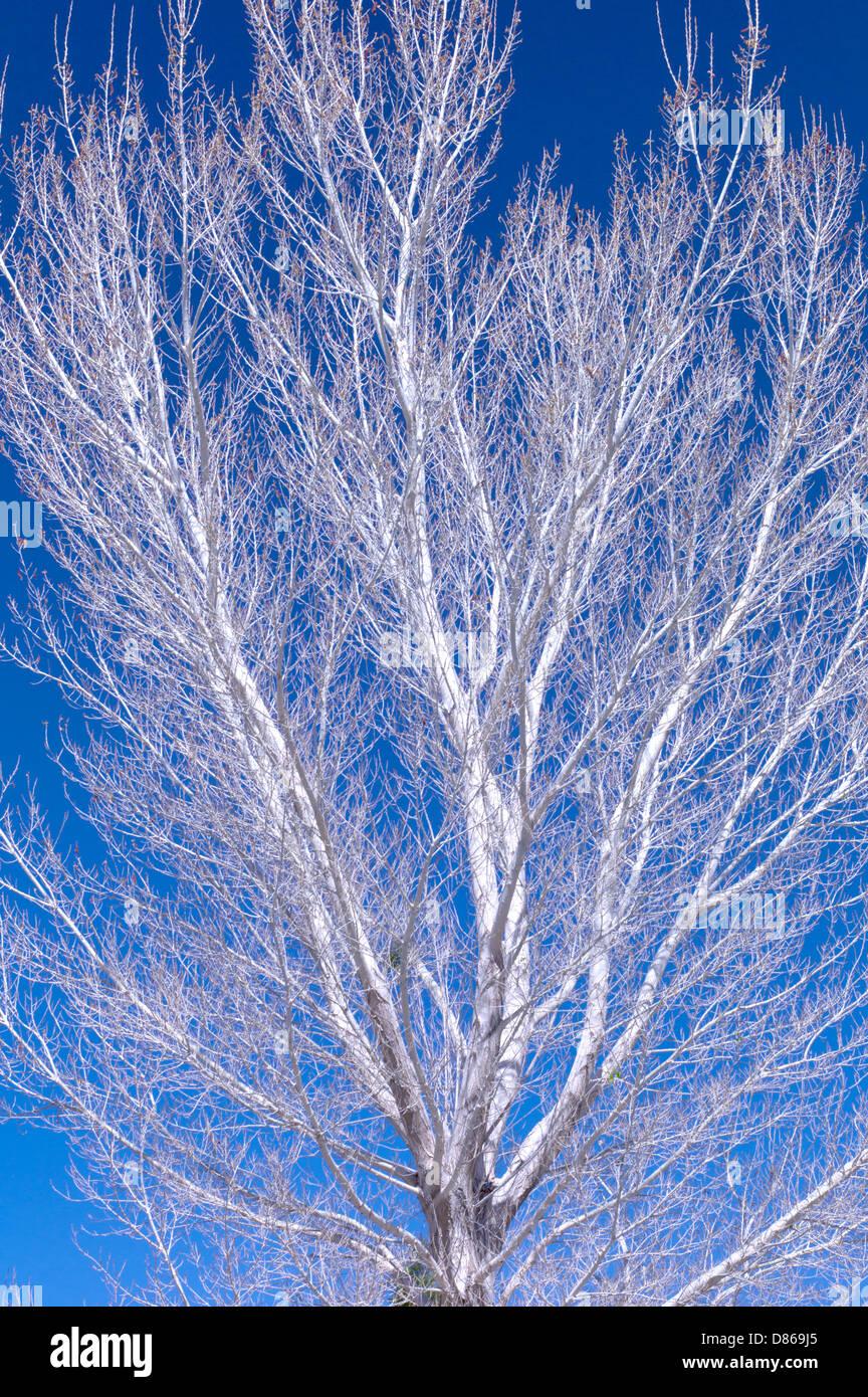 Tree borers amp bark beetles arborx tree health care - White Bark Of Cottonwood Tree White Water Preserve California Stock Image
