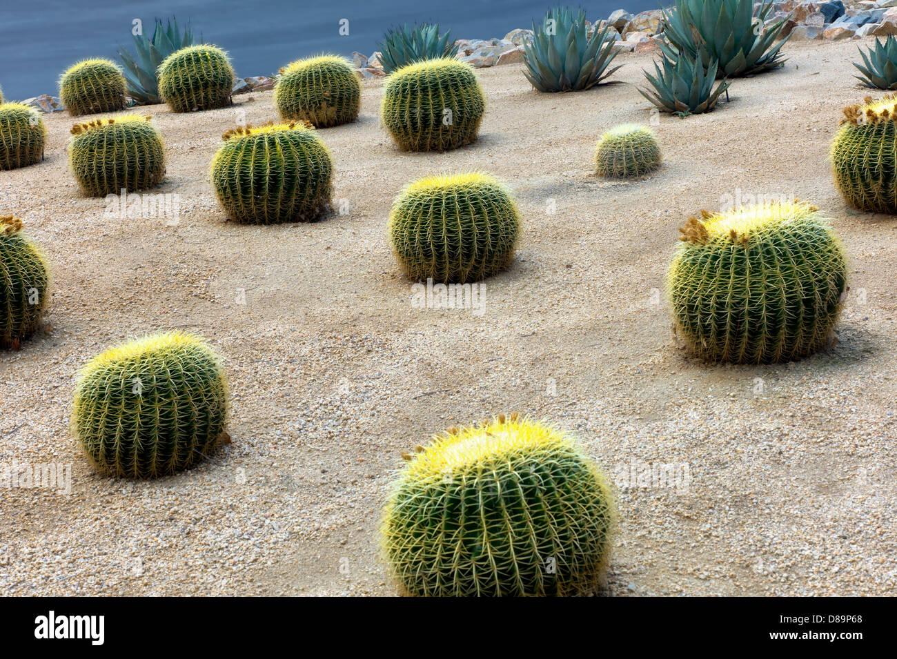Golden Barrell Cactus Garden. Palm Springs, California   Stock Image