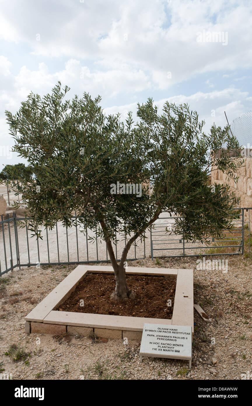 Olive tree beside the byzantine chapel planted as a symbol of peace olive tree beside the byzantine chapel planted as a symbol of peace by pope john paul ii on 20th march 2000 mount nebo jordan buycottarizona Choice Image