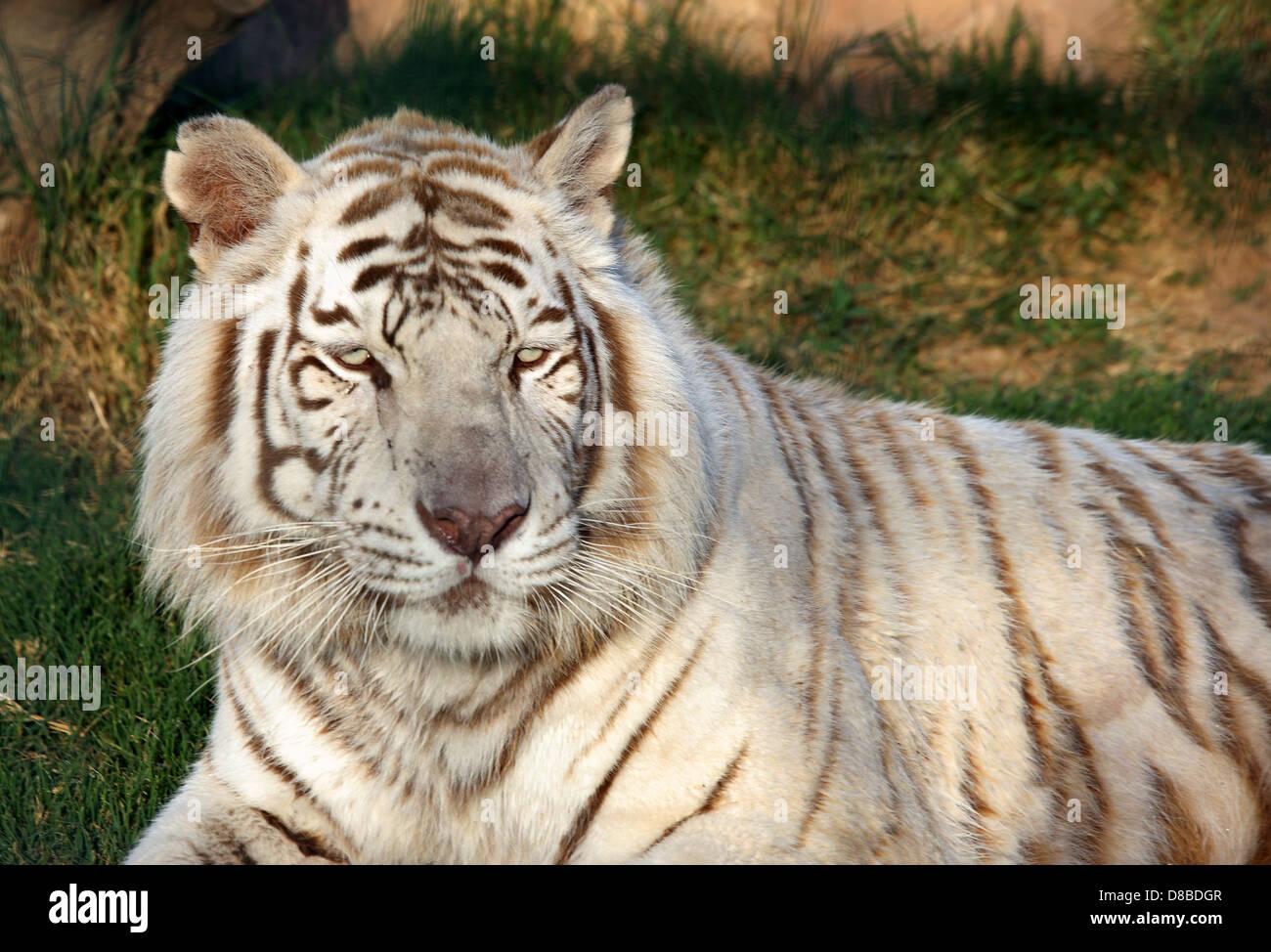 Rare white tiger