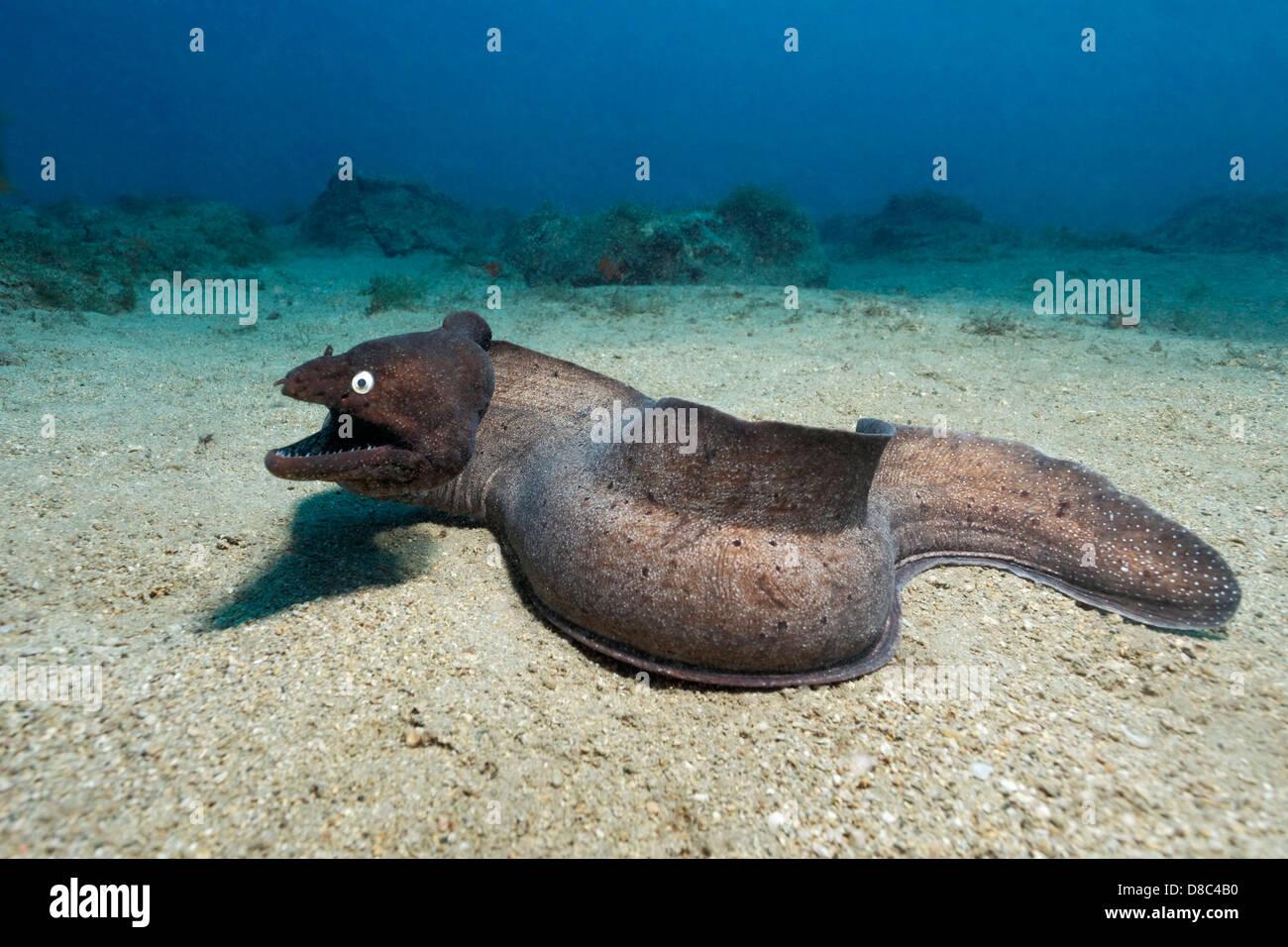 black moray eel stock photos u0026 black moray eel stock images alamy