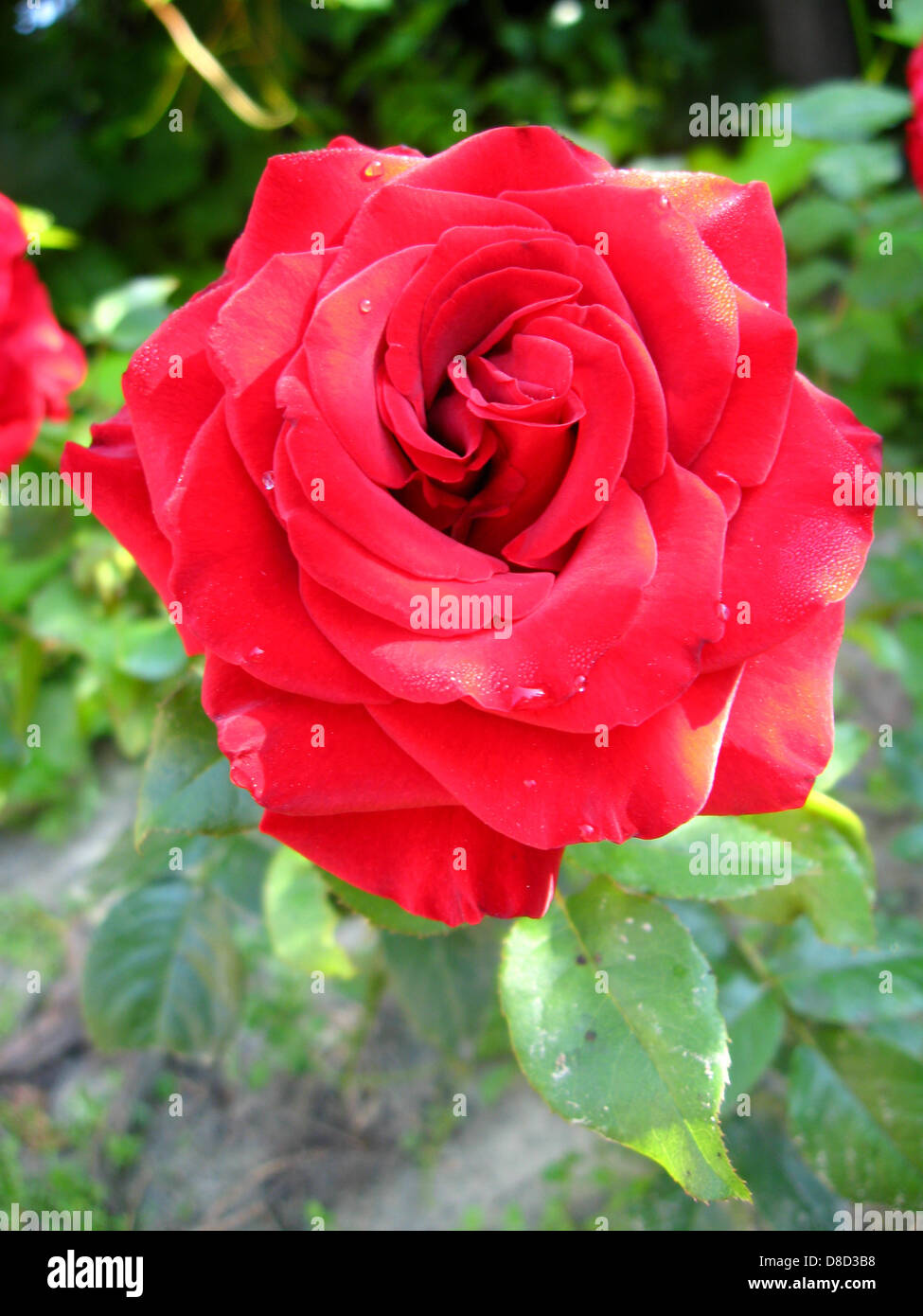 Natural Images Of Flowers Red Rose
