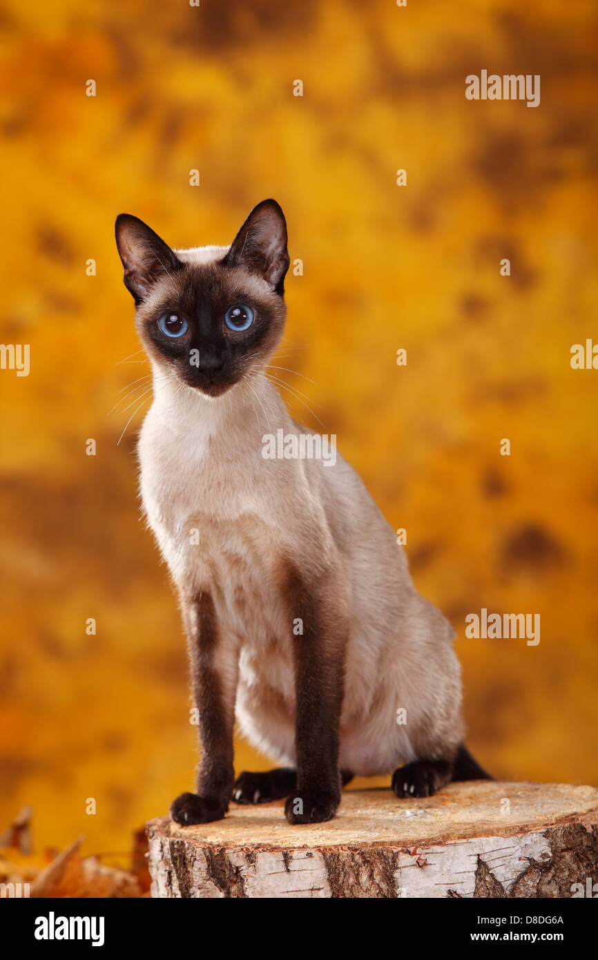 Classic Siamese Cats Stock Photos & Classic Siamese Cats Stock ...