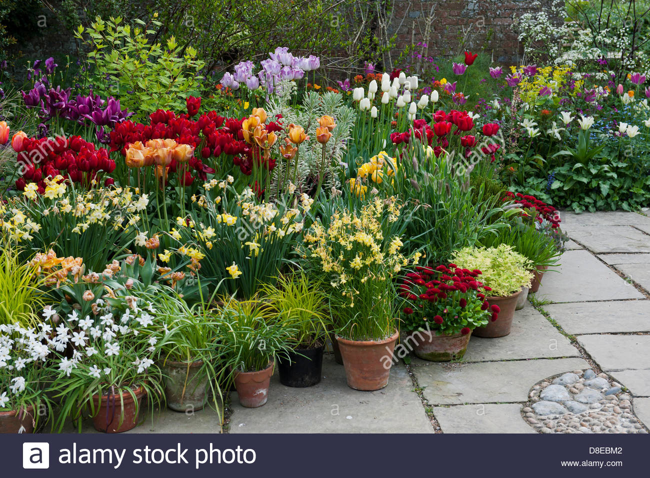 Stock Photo   Mixed Tulips Daffodils Perennial Group Containers Pots Patio  Colorful Colourful Display Great Dixter East Sussex England