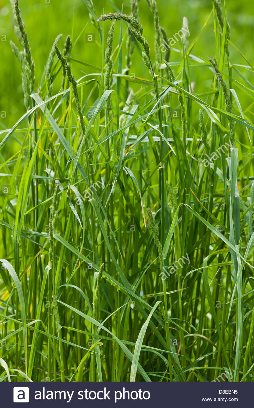 Grass Couch Couch Grass Elymus Repens Stock Photo Royalty Free Image