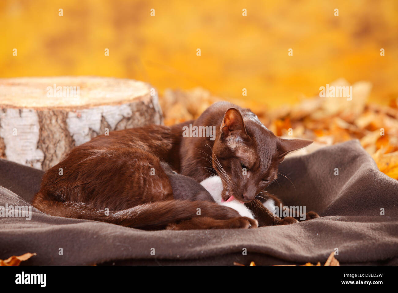 Oriental Shorthair Cat havana with kittens 7 days chocolate