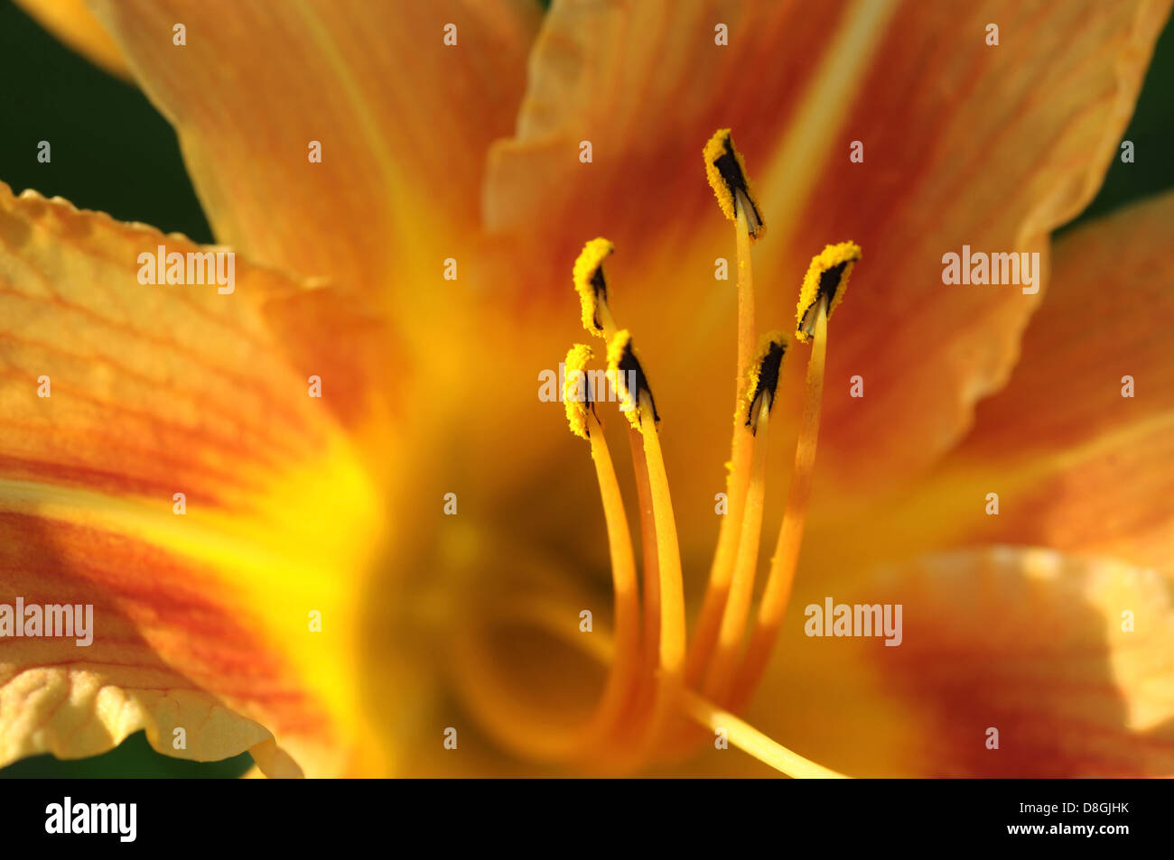 daylily stock photo royalty free image 56914191 alamy. Black Bedroom Furniture Sets. Home Design Ideas