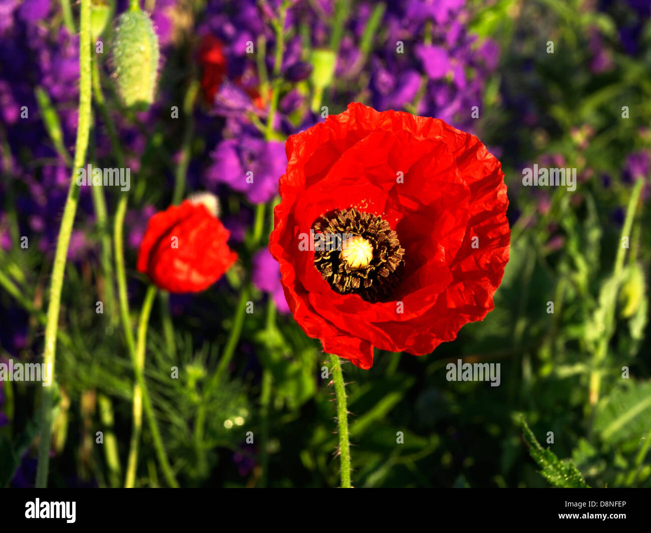 Red and violet poppy flower flowering plant symbol of sleep red and violet poppy flower flowering plant symbol of sleep peace and death papaver rhoeas corn poppy buycottarizona