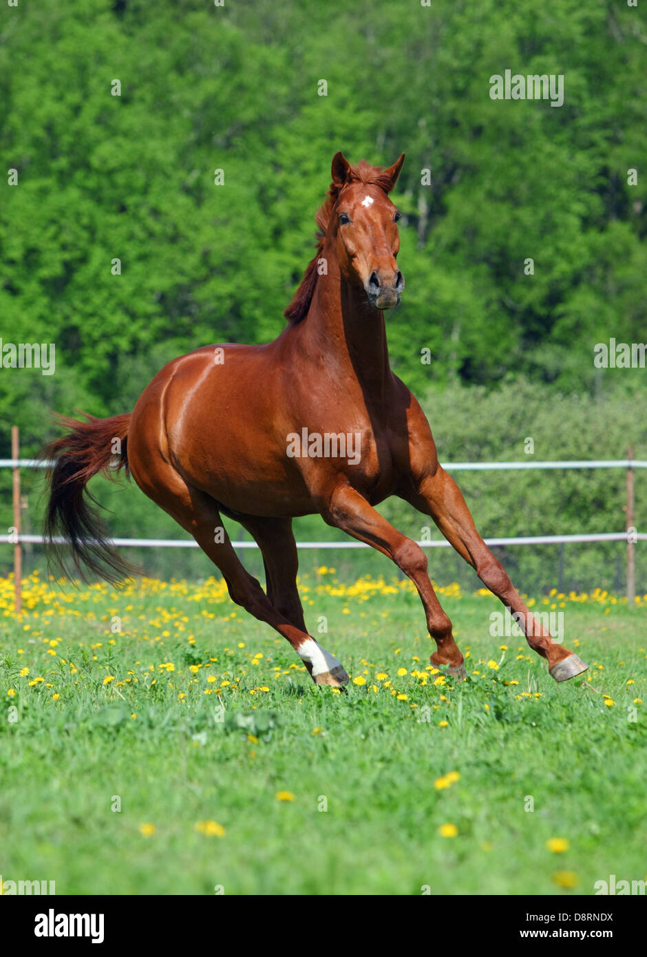 Beautiful chestnut thoroughbred horse making a turn while ...