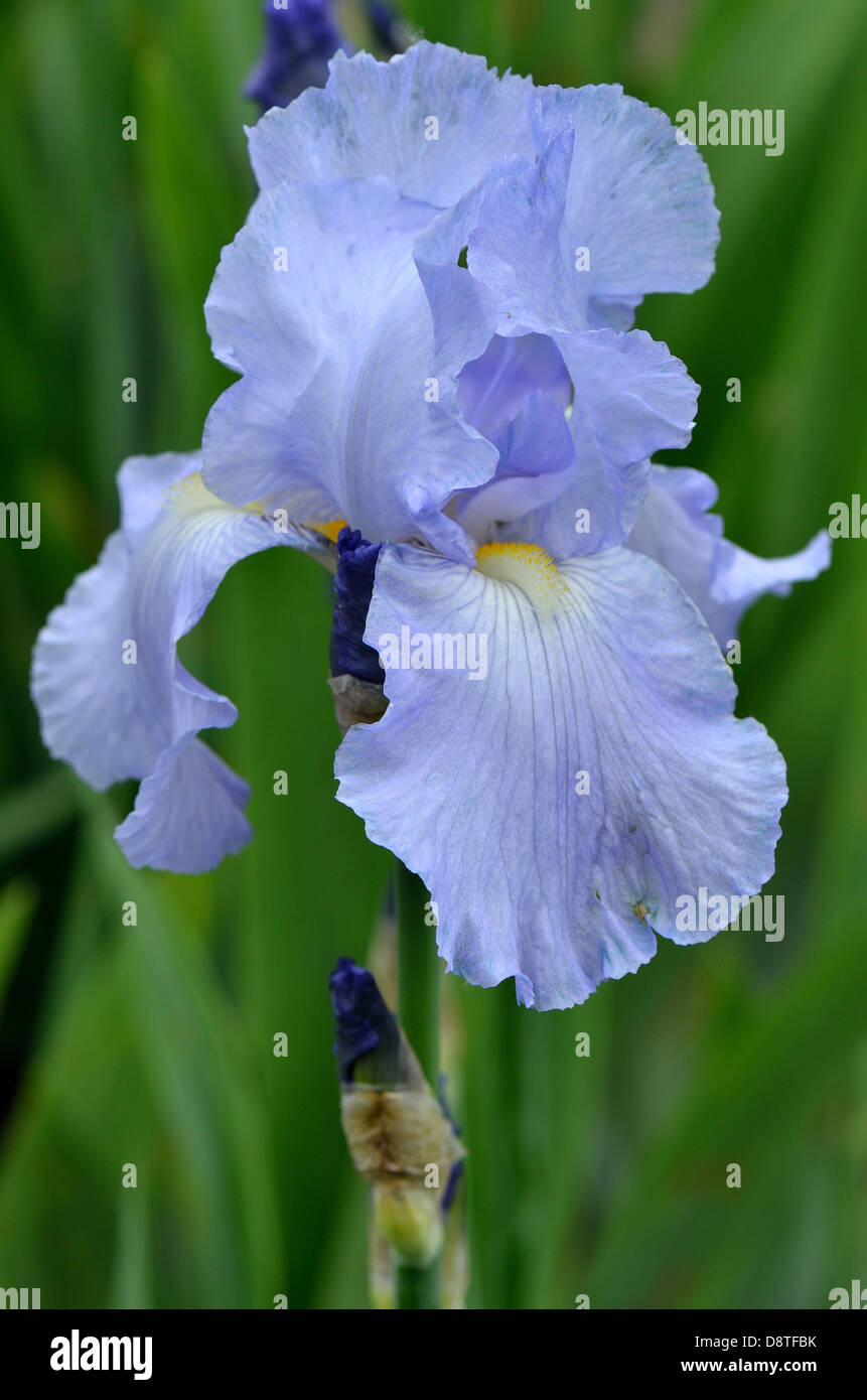 pale blue iris flower stock photo royalty free image. Black Bedroom Furniture Sets. Home Design Ideas