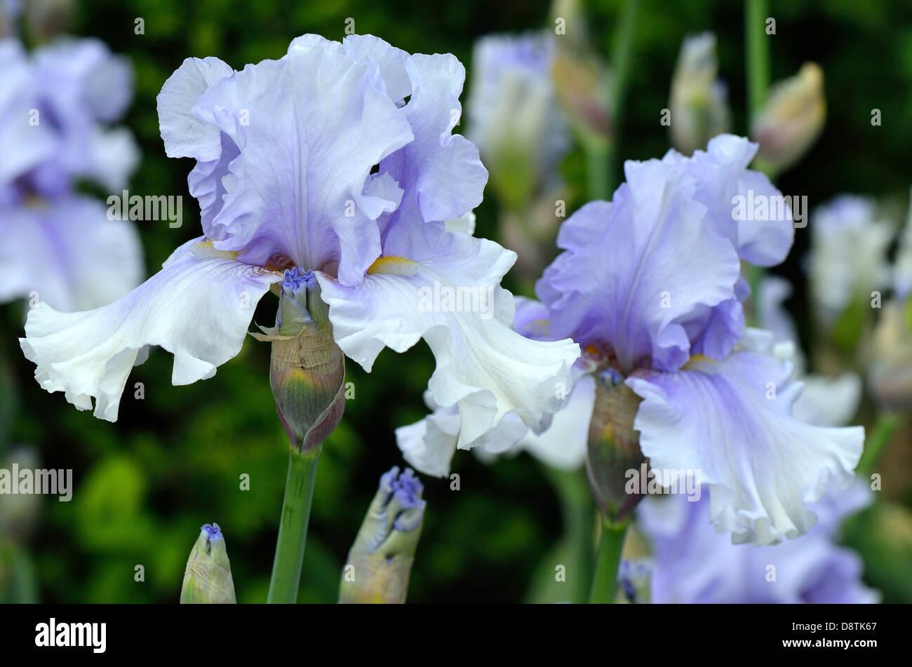 Iris flowers halifax image collections flower wallpaper hd iris flowers halifax choice image flower wallpaper hd iris flowers halifax gallery flower wallpaper hd iris izmirmasajfo