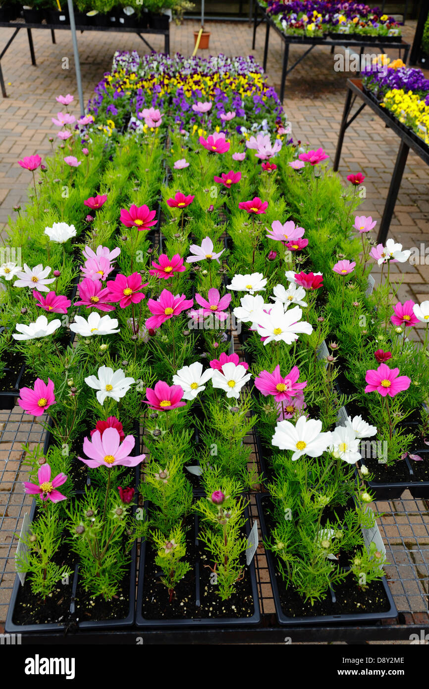 Summer bedding plants for sale in a garden centre