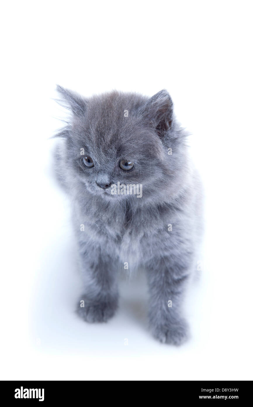 Little British blue cat isolated Stock Royalty Free Image