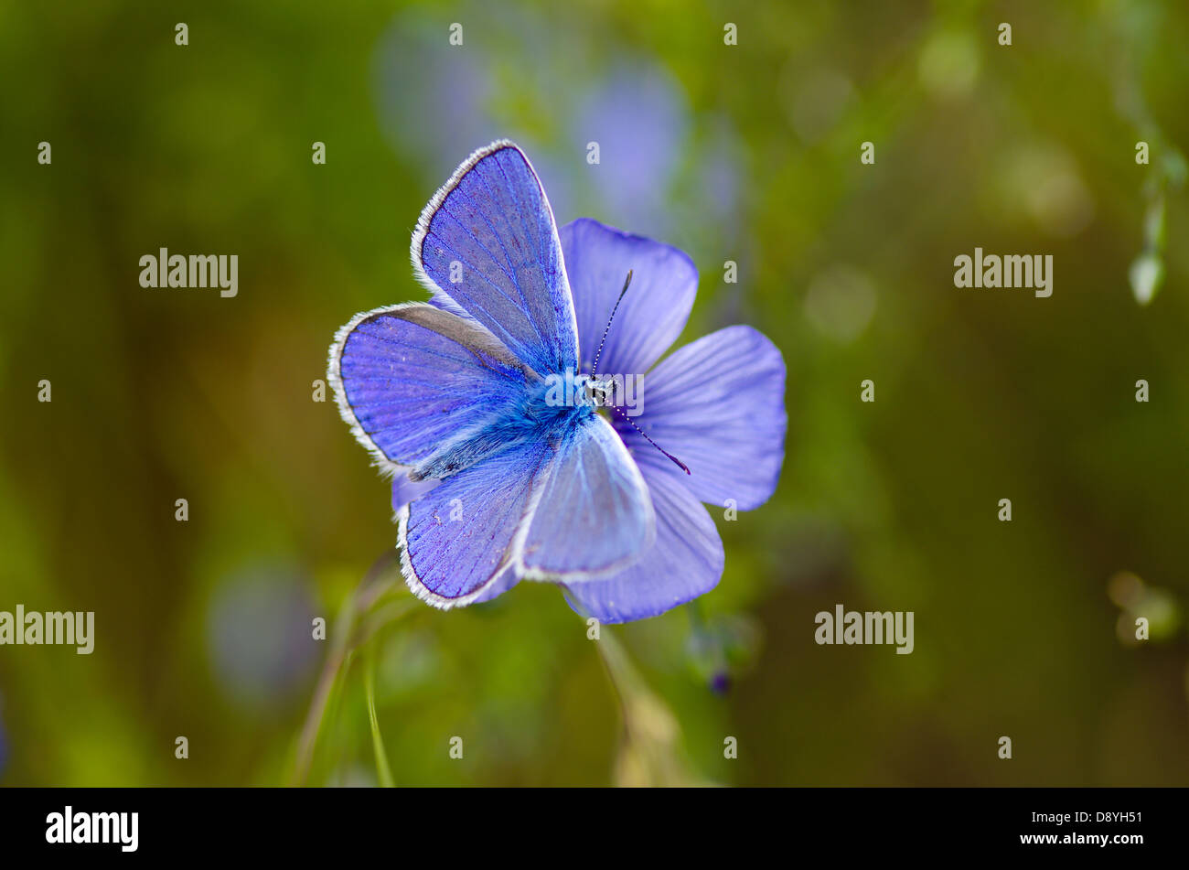 a-common-blue-polyommatus-icarus-butterf