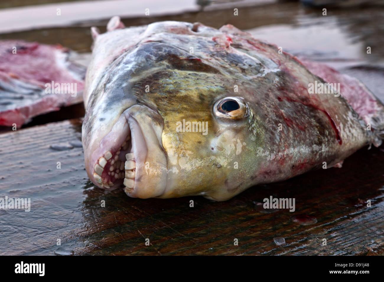 Saltwater Sheepshead Teeth