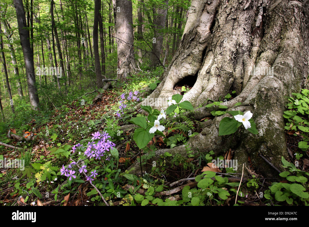beech tree roots with spring flowers trillium phlox in forest