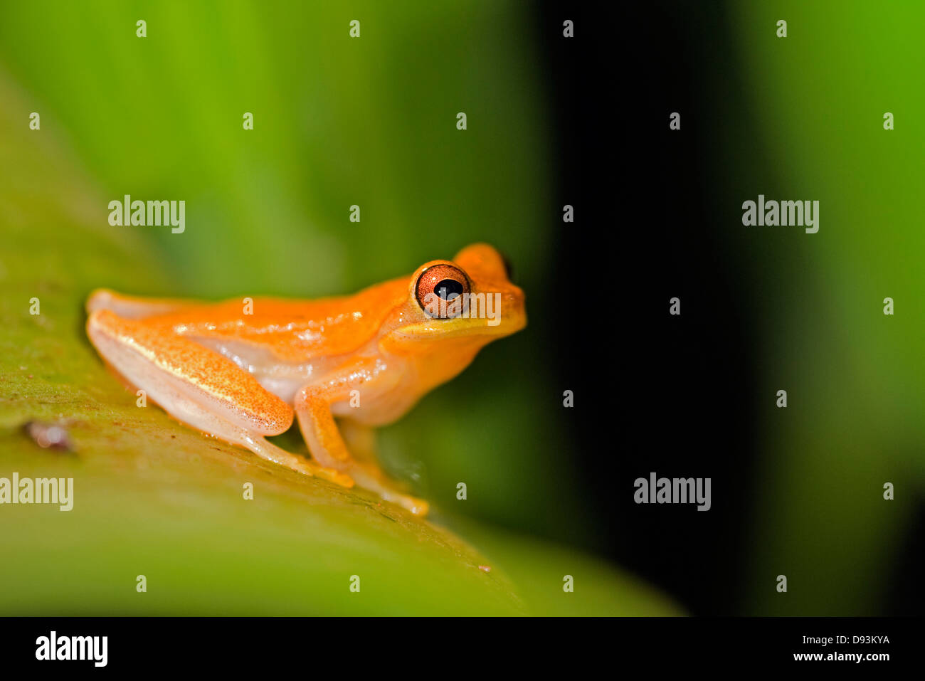 golden-toad-on-a-leaf-costa-rica-D93KYA.