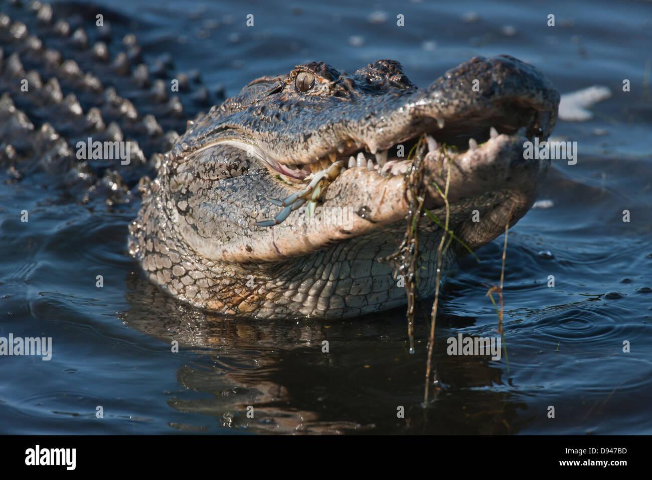 American alligator eating habits