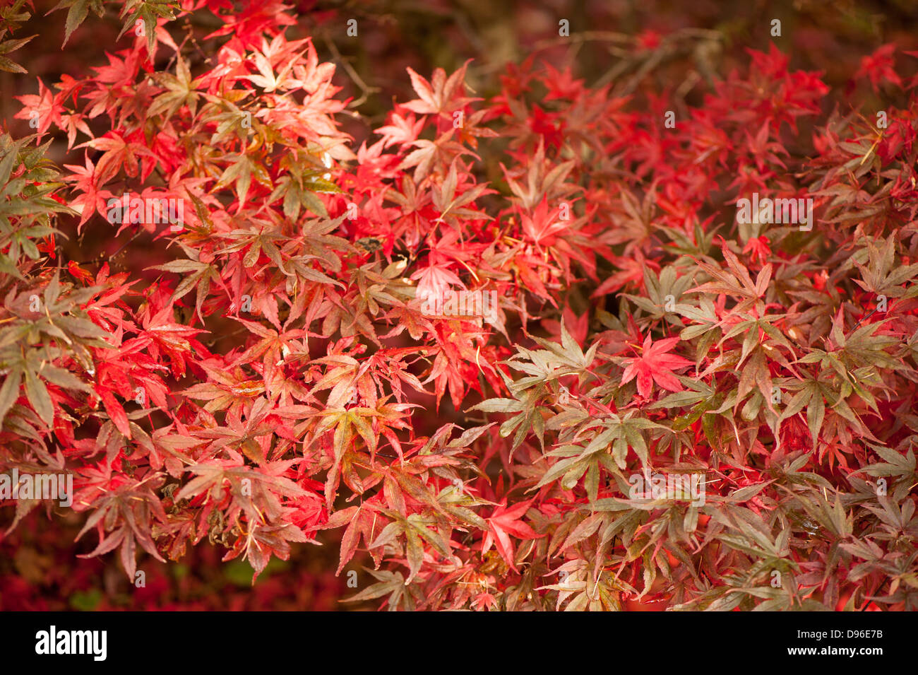 acer palmatum 39 shaina 39 japanese maple in autumn stock. Black Bedroom Furniture Sets. Home Design Ideas