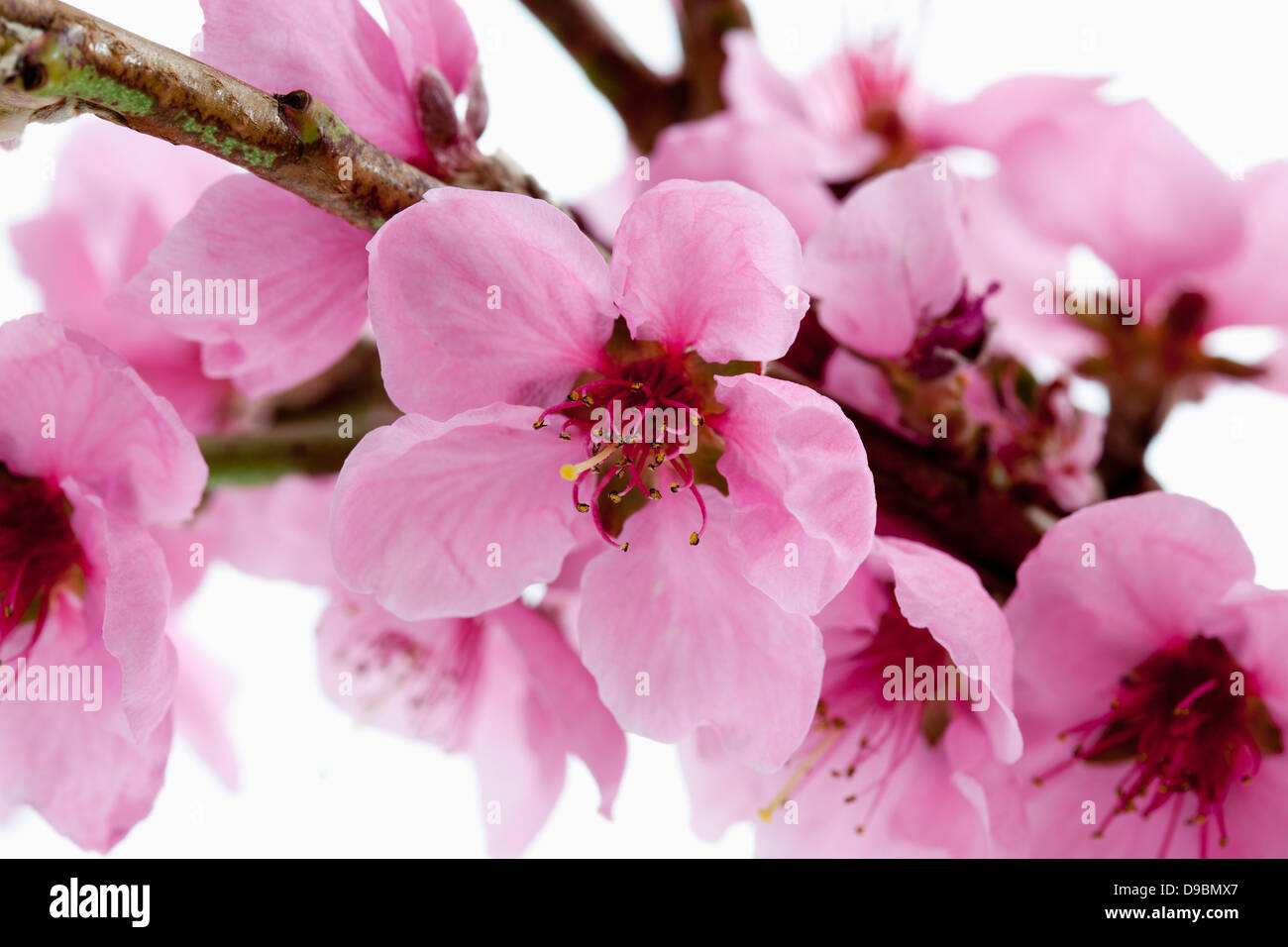 Peach Blossoms Against White Background Close Up