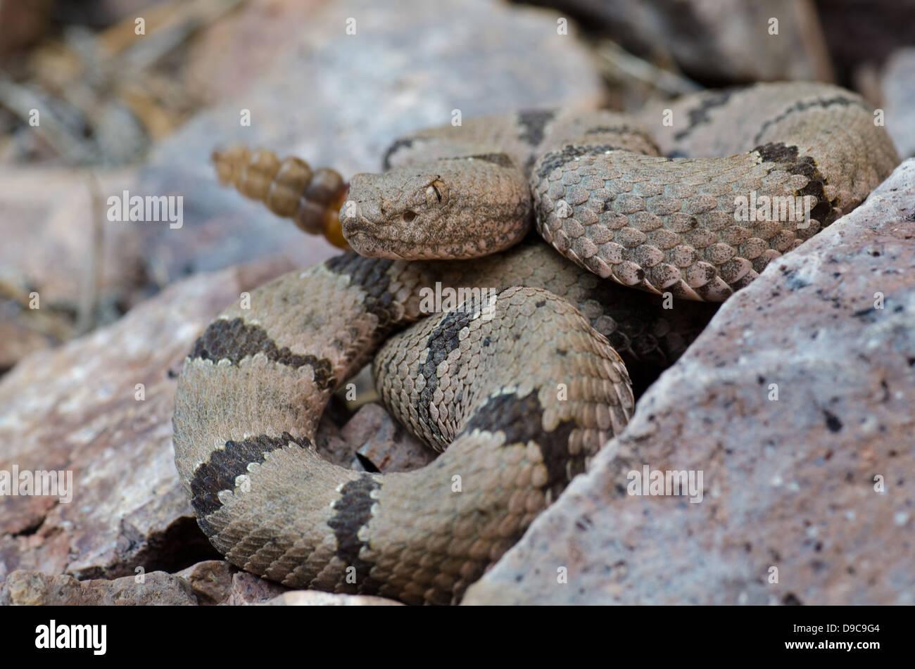 New mexico socorro county magdalena - Banded Rock Rattlesnake Crotalus Lepidus Klauberi Magdalena Mountains Socorro Co New Mexico Usa