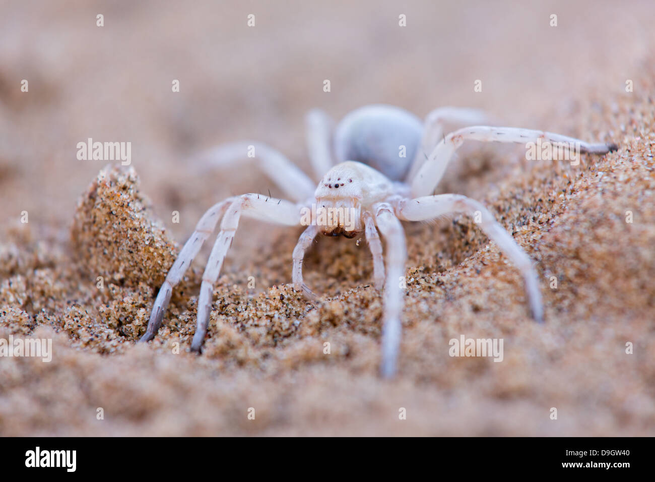 Dancing White Lady Spider Stock Photos & Dancing White Lady Spider ...