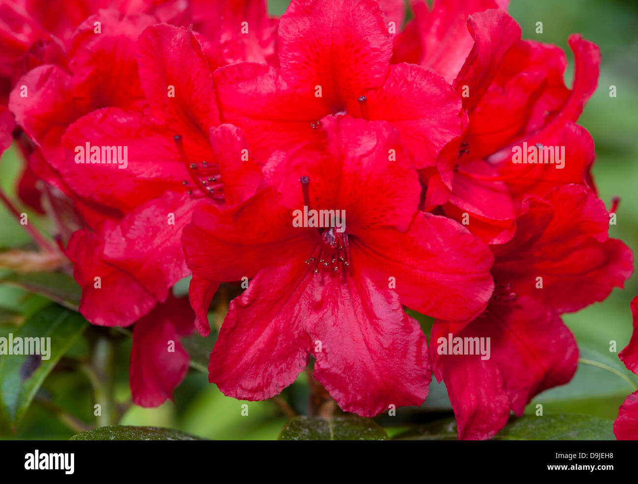 rhododendron 39 red jack 39 in full flower in early summer. Black Bedroom Furniture Sets. Home Design Ideas