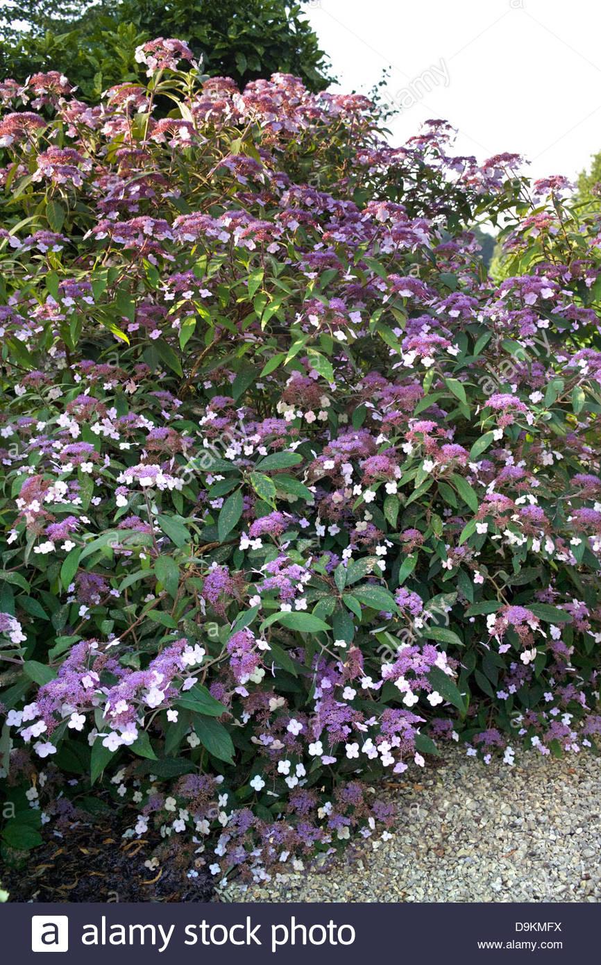 hydrangea aspera villosa group large shrub with many purple lace cap stock photo royalty free. Black Bedroom Furniture Sets. Home Design Ideas