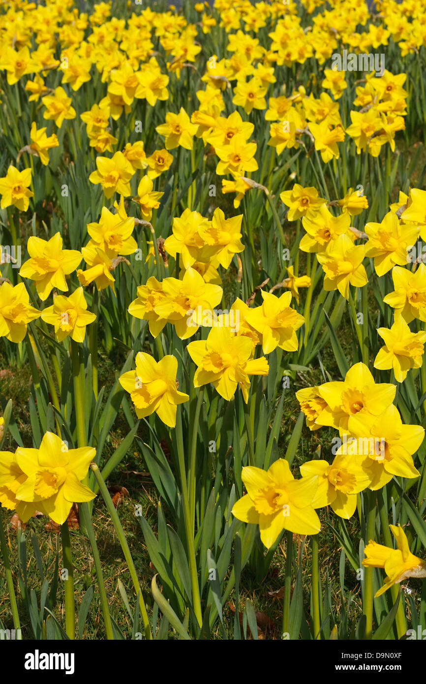 Daffodils in park a popular symbol of the spring season whose daffodils in park a popular symbol of the spring season whose flowers bloom during springtime mightylinksfo Gallery