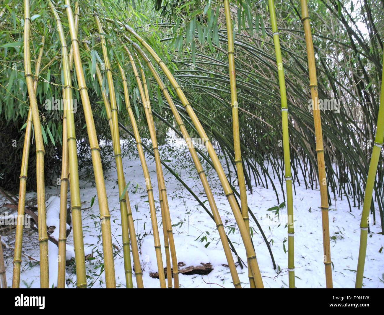 bamboo phyllostachys aureosulcata aureocaulis phyllostachys stock photo 57625548 alamy. Black Bedroom Furniture Sets. Home Design Ideas