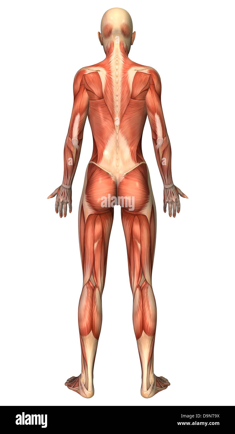 female muscular system, back view stock photo, royalty free image, Muscles