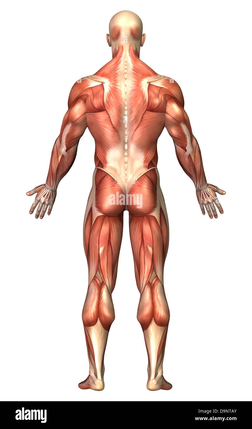 anatomy of male muscular system, back view stock photo, royalty, Muscles