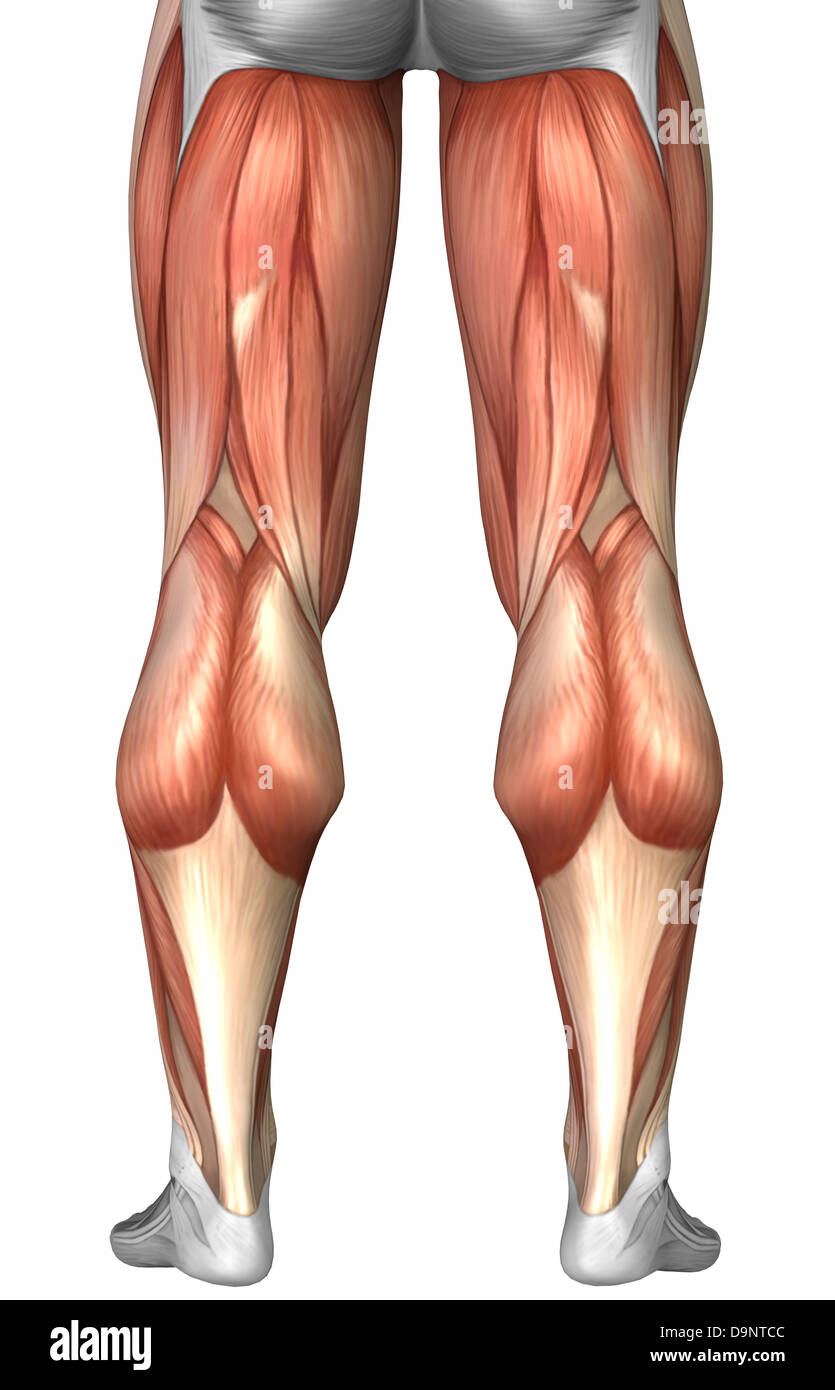 Human leg muscles biceps femoris long head illustration stock thigh muscles artwork diagram illustrating muscle groups on back of human legs stock photo ccuart Choice Image